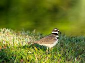 Vocalizing Kildeer