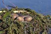stock photo of great crested grebe  - Great crested grebe nest  - JPG