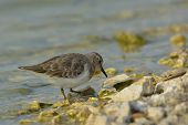 Broad-billed Sandpiper ( Limicola Falcinellus )
