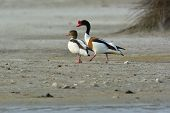 Common Shelduck, (tadorna Tadorna)