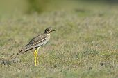 Burhinus Oedicnemus (eurasian Thick-knee, Eurasian Stone-curlew , Stone Curlew )