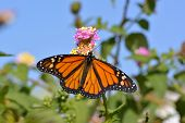Butterfly Feeding On The Florets Of Flower Monarch