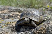 Greek Turtle / Testudo Graeca Ibera
