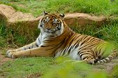 Bengal- Or Asian Tiger In Sunny Day With Green Background