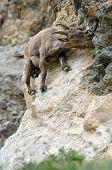 Capra ibex leaping mineral salt
