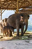 Thai Baby Elephant And Mother