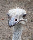 Female ostrich face