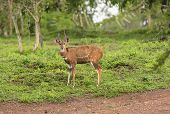 Male Bushbuck In The Forest