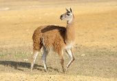 picture of lamas  - Young lama stay on the field in nature - JPG