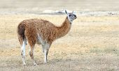 stock photo of lamas  - Young lama stay on the field in nature - JPG