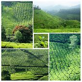 Collage Of Famous Munnar Tea Plantations In Southwestern State Of Kerala, India, Western Ghats Range