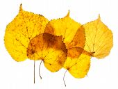 Linden yellow leaves isolated on white