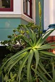 Beautiful Bush Aloe