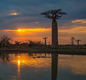 Sunset Over Alley Of The Baobabs, Madagascar.
