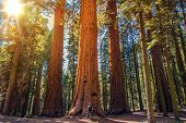 picture of redwood forest  - Sequoia vs Man - JPG