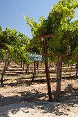 Sauvignon Blanc Grapes On The Vine In Califonia