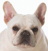 french bulldog puppy portrait on white background