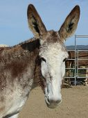 Lucy - A Mammoth Donkey