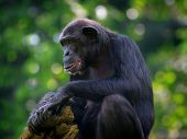 picture of omnivore  - Common Chimpanzee sitting next to a river in the wild - JPG