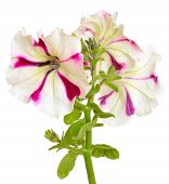 White With Purple Petunia Flower On White Background