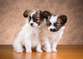 Two Papillon Puppies