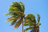 Coconut tree Blown by the wind on blue sky
