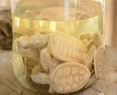 picture of albinos  - Albino turtles in glass jar at Sea Turtle Farm and Hatchery - JPG
