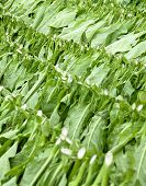 Provincia de Ciego de Avila Cuba de la cosecha de tabaco