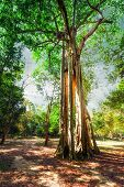 Sunny Rainforest With Giant Banyan Tropical Tree. Cambodia