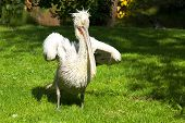 Wild pelican on the grass