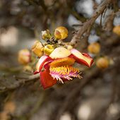 Beautiful Tropical Cannon Ball Tree Flower Growing In Rain Forest. Thailand Nature Background