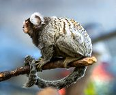Dwarf green monkey (vervetka) - species of monkeys family martyshkovyh primates
