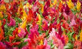picture of cockscomb  - Colorful cockscomb Flowers  in a garden horizontal format - JPG