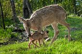 White-tailed Deer (odocoileus Virginianus) Greets Her Fawn