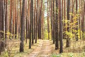 pine forest in autumn with a dirt road