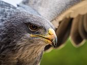 image of buzzard  - portrait of a black chested  eagle buzzard