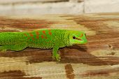 Wild Madagascar Giant Day Gecko