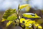 stock photo of mulberry  - Green branch of the mulberry tree with unripe berries - JPG