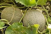 Two Cantaloupes