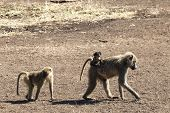 Olive Baboon Baby Riding On Its Mother