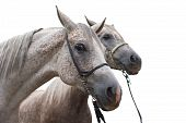 Two Arabian Horse Isolated