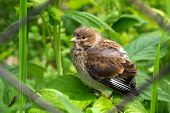 Thrush fledgling. Chick of forest bird.