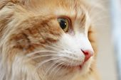 Close Portrait Of Luxurious Red Cat