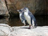 two little blue penguins