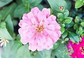 Blossom Beautiful Pink Flower In Garden