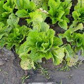 Agricultural Industry. Growing Salad Lettuce On Field
