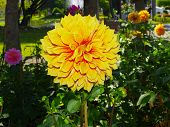 Decorative Dahlia- yellow.