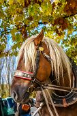 image of harness  - Horse harnessed to the carriage near Hluboka Castle Czech Republic - JPG