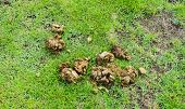 picture of excrement  - image of dry animal poop on green grass .