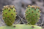 Two Cactus Leave